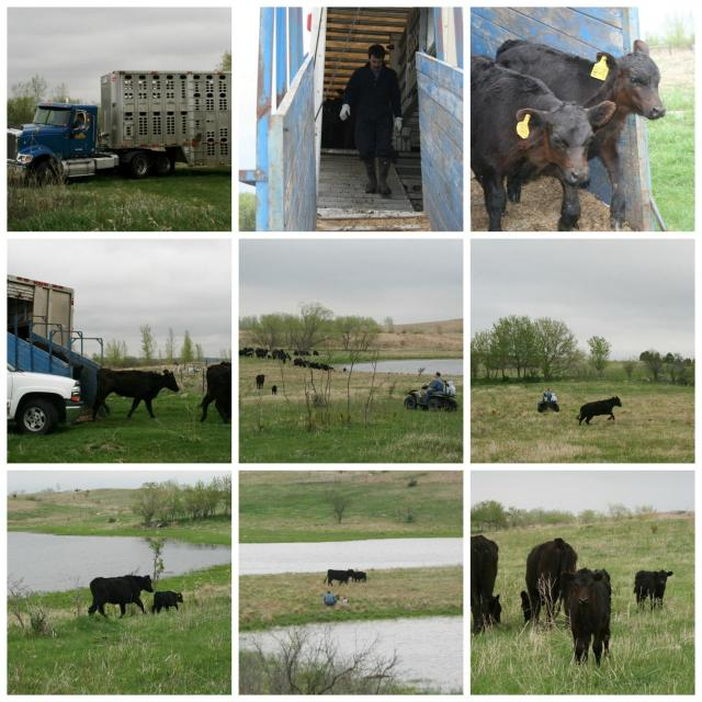 Unloading Cows-Collins Family Farms